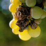 关于匈牙利的Tokaji贵腐甜酒中ASZU的分类。