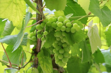 Spanish grape Albariño