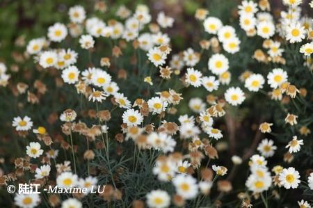 flower of Melbourne