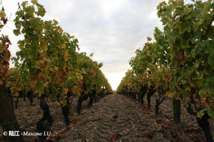 Vineyard of Bordeaux 波尔多葡萄园