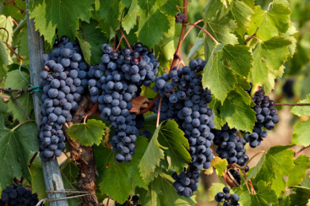 Lush grapes in vineyard ready for harvest, Italy.