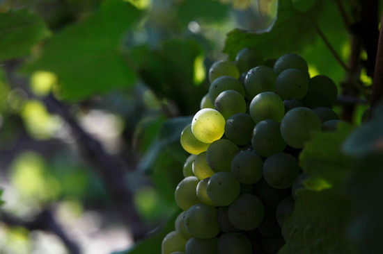 134740_champagne-grapes-chardonnay-credit-decanter