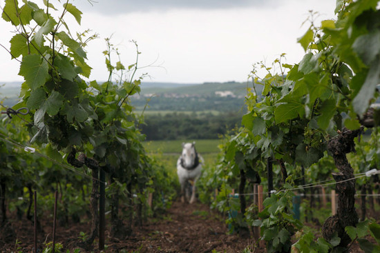 134741_champagne-louis-roederer-horses-vines-cellar-credit-eric-pgrabham