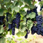 新疆和硕,一个有美酒、鱼虾、瓜果的葡萄酒产区