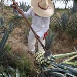 墨西哥特其拉Tequila产区行(下)