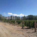 有鸟窝的葡萄园,新疆和硕产区